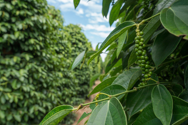 The Kampot pepper plantation tour in Kep, Budget Guide to Cambodia | Tips on how to do Cambodia on the cheap | How to travel Cambodia cheaply | Cambodia on a budget | 2 weeks in Cambodia