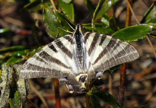 Southern Scarce Swallowtail Iphiclides podalirius feisthamelii Vilarinha, Algarve, October 2015