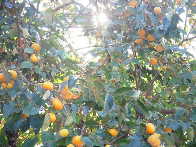 !柿の実が落っこちそう…, Nikon COOLPIX S52
