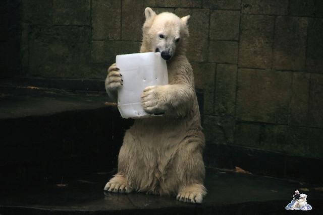Eisbär Fiete im Zoo Rostock 17.10.2015  0198