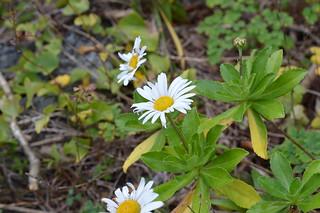 DSC_1290 Chrysanthemum nipponicum