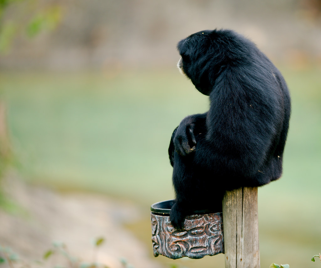 Gibbon_1