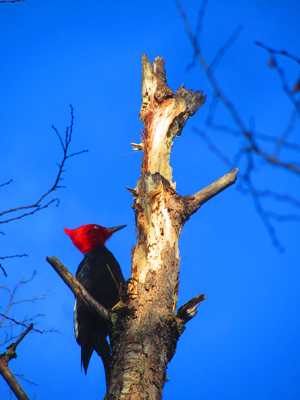 Male Magellanic Woodpecker - Tolhuaca National Park Campground