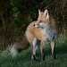 red fox by matt knoth