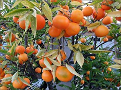 Tangerine tree gone wild