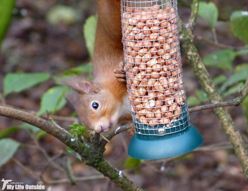 P1160665_2 - Red Squirrel, Loch Leven