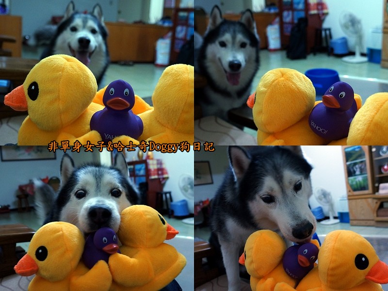 doggy黃色小鴨鞋04