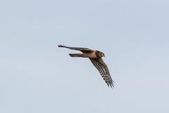 IMG_0081.jpg Northern Harrier, Lee Road, Struve Slough