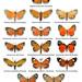 Mapeta xanthomelas mimicry complex by Franziska Bauer