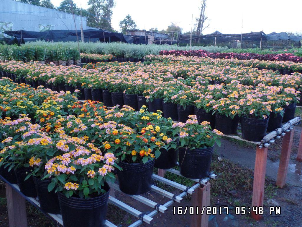 Hoa trâm ổi, màu này hơi lạ. Tôi hay gặp hoa trâm ổi vàng, cam. Còn trâm ổi màu vàng trắng nhìn là lạ
