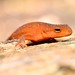 Red Eft by nikomelos