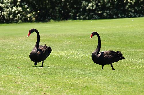 Black swans, Golf Las Americas, Playa de las Americas, Tenerife