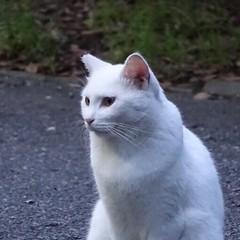 domestic long-haired cat(0.0), european shorthair(0.0), chartreux(0.0), nebelung(0.0), manx(0.0), animal(1.0), british shorthair(1.0), british semi-longhair(1.0), khao manee(1.0), small to medium-sized cats(1.0), pet(1.0), burmilla(1.0), turkish angora(1.0), cat(1.0), carnivoran(1.0), whiskers(1.0), domestic short-haired cat(1.0),