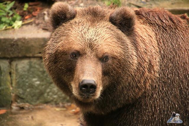 Eisbär Fiete im Zoo Rostock 05.09.2015  0157