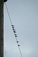 Swallows near Bonby