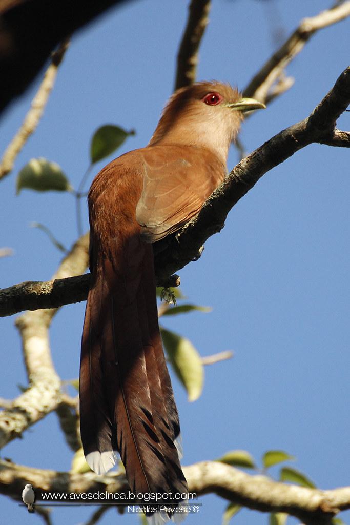 Tingazú (Squirrel Cuckoo) Piaya cayana