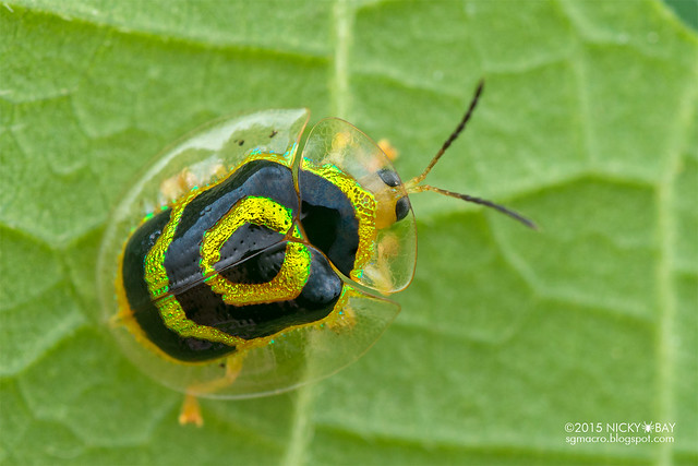 Tortoise beetle (Cassidinae) - DSC_8049