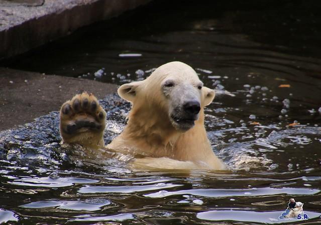 Eisbär Fiete im Zoo Rostock 26.09.2015   082