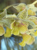 pale yellow orchid
