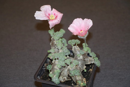 Monsonia multifida with pink flower