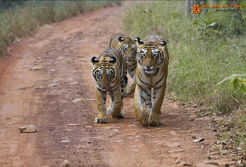 Bengal tigress with cubs