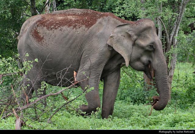 Elephant, Uda Walawe NP, Sri Lanka