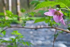 Salmonberry and Stream