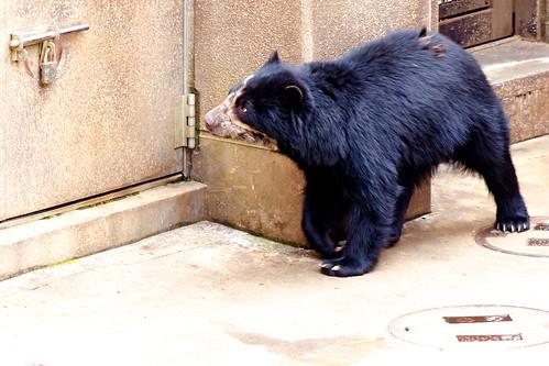 Spectacled Bear of Zoological Gardens : メガネグマ(よこはま動物園ズーラシア)