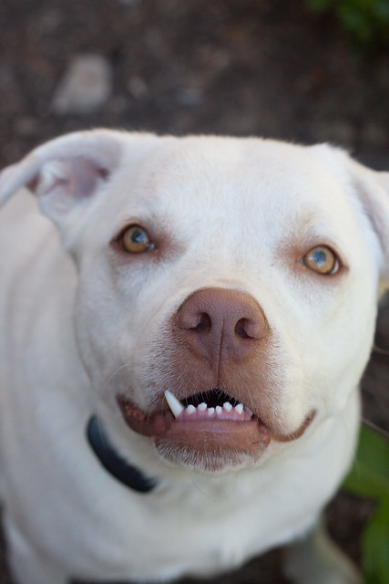 Snaggletooth lab pit bull