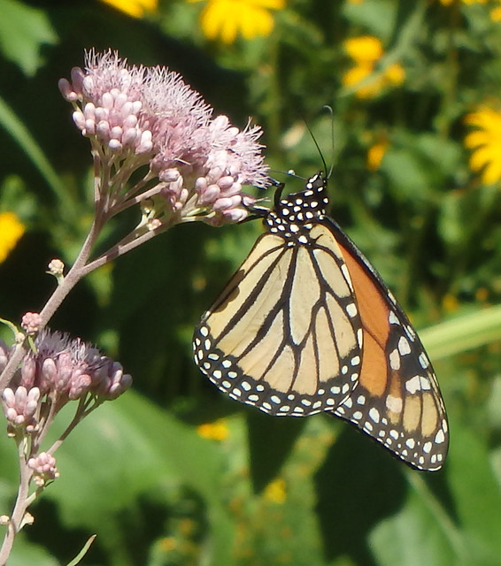 monarch drinking from joe-pye weed