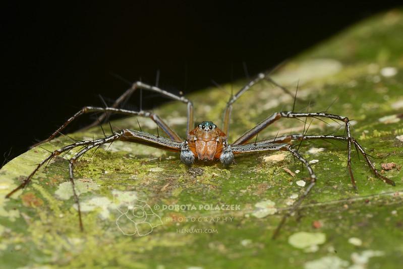 Lynx spider (Hamadruas sp.)