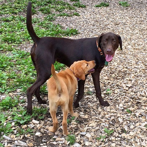 Nicole and Gracie #dogpark #labradorretriever #dogs