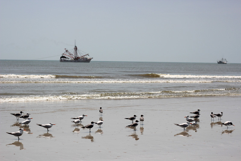 Sea birds and a ship in the distance on the beach of Cumberland Island