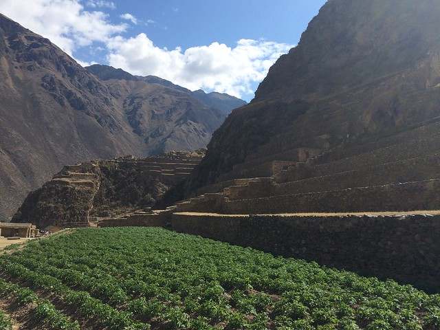 Lower terrace of ruins is still planted in potatoes