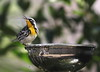 Yellow-throated Warbler (rare to our area*) by C-O