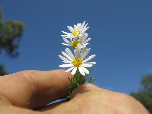 Minuria leptophylla head3 NC
