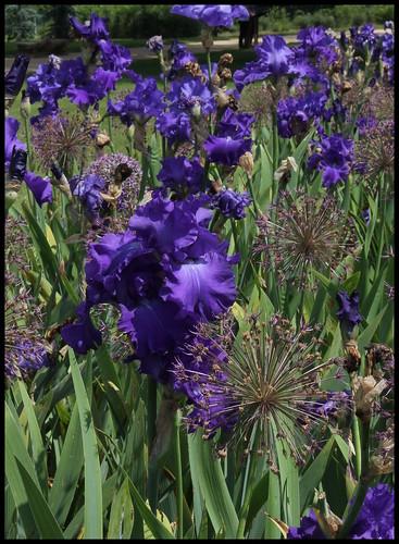 Associer nos iris à d'autres plantes pour de beaux massifs 22173800372_e7902cea13