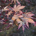 autumn leaves by Muffet