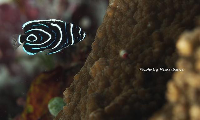 1円玉サイズのタテジマキンチャクダイ幼魚。このサイズが3匹もいました。