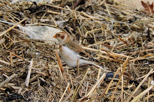 Snow Bunting #95 Lifer #137