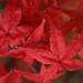 maple leaves by Suzanne's stream