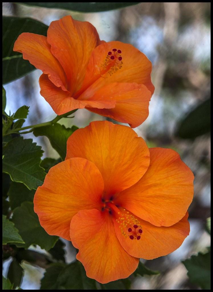 Orange Hibiscus-1=