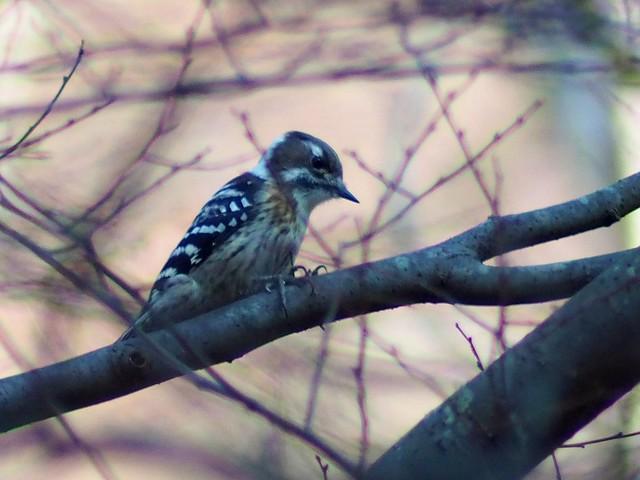 Pygmy woodpecker (Dendrocopos kizuki, コゲラ)