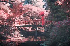 cherry splendor