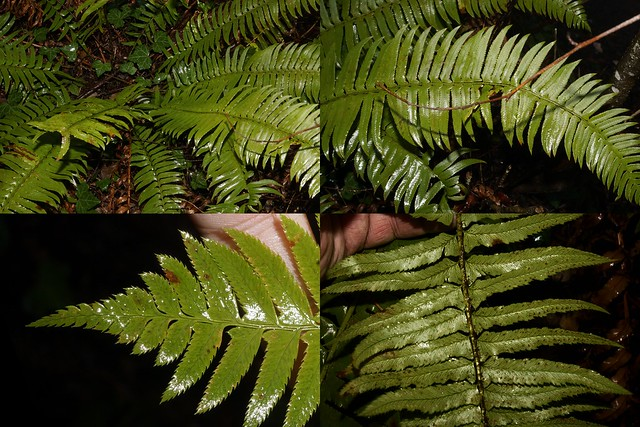 Polystichum munitum (Kaulf.) C. Presl
