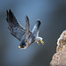 Fast-flying Falcon by Patricia Ware