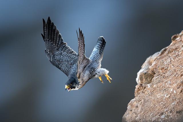 Fast-flying Falcon