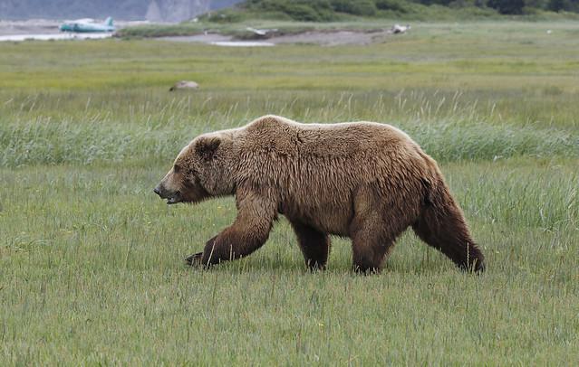 Brown Bear and Beaver {In Explore 12/28/16}
