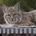 9A8A2722 - Backyard Bobcat - Albuquerque, New Mexico by Stephen Vender
