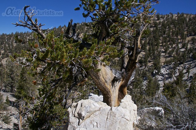 view 0008 Ancient Bristlecone Pine Forest, California, USA